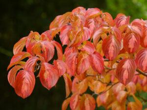Cornus kousa 'Gold Star', Chinesischer Blumen-Hartriegel, Sichtungsgarten, Weihenstephan,