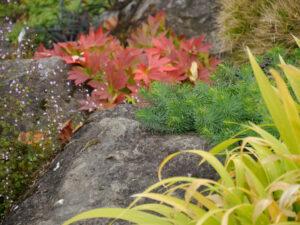 Mukdenia rossii, Ahornblatt, Steingarten, Sichtungsgarten,Weihenstephan,