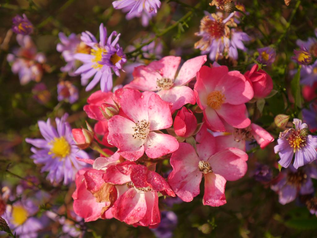 Rosa Mozart und Astern Sichtungsgarten Weihenstephan