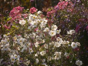 Anemone 'Honorine Jobert' vor Rosa 'Mozart', Sichtungsgarten Weihenstephan