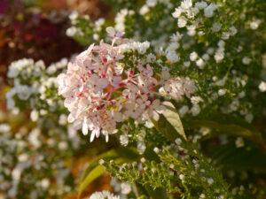 Hydrangea paniculata 'Vanille-Fraise', Aster ericoides 'Schneetanne', Sichtungsgarten Weihenstephan