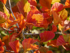 Hamamelis vernalis 'Washington Park', Sichtungsgarten Weihenstephan