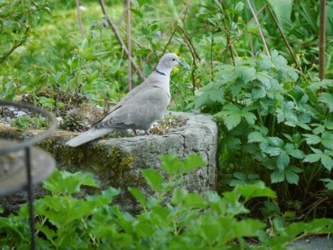 Türkentaube in Wurzerls Garten