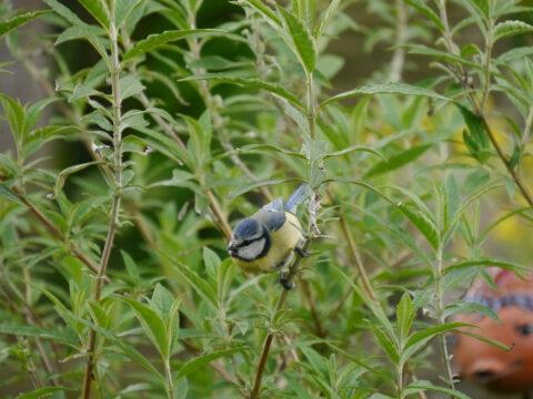 Blaumeise in Wurzerls Garten