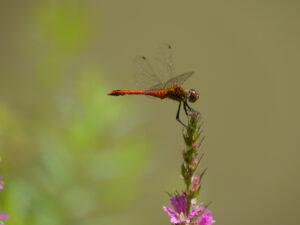 Heidelibelle in Wurzerls Garten