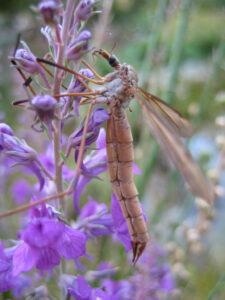 Kohlschnake, Tipula oleracea, in Wurzerls Garten