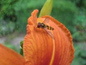 Gegürtelte Schwebfliege, Episyrphus balteatus