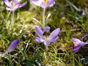 Crocus tommasianus mit Honigbiene in Wurzerls Garten