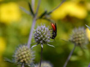 Sphecodes albilabris, Riesen-Blutbiene, Kuckucksbiene,  Eryngium palmatum,