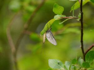 Eintagsfliege in Wurzerls Garten