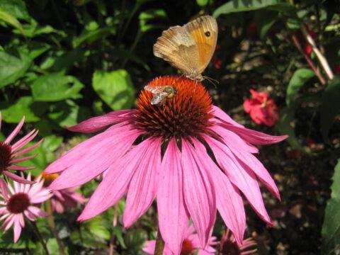 Großes Ochsenauge, Maniola jurtina, auf Echinacea purpurea,