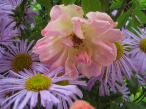 Offene Schalenblüten wie diese einfache Rose und Korbblütler aller Art sind beliebte Insektenstationen