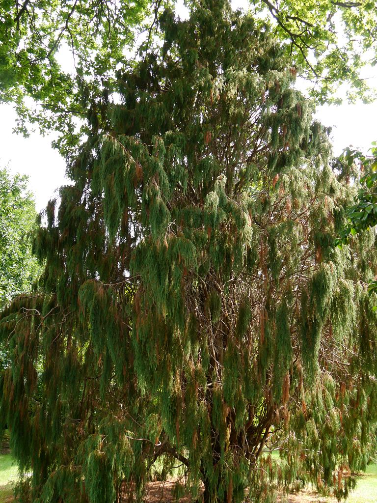 Juniperus recurva, Sheffield Park and Garden East Sussex