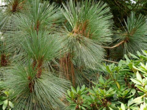 Pinus montezumae, Sheffield Park and Garden, East Sussex