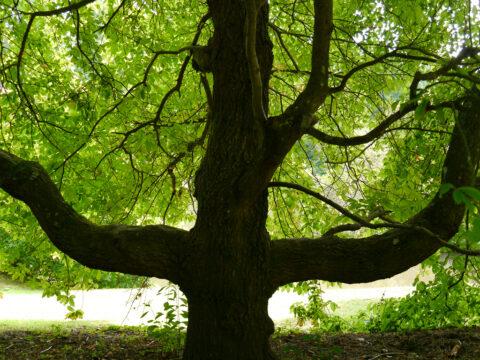 Nyssa sylvatica 'Sheffield Park' im Sheffield Park and Garden, East Sussex