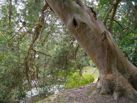 Eucalyptus gunnii, Sheffield Park and Garden, East Sussex