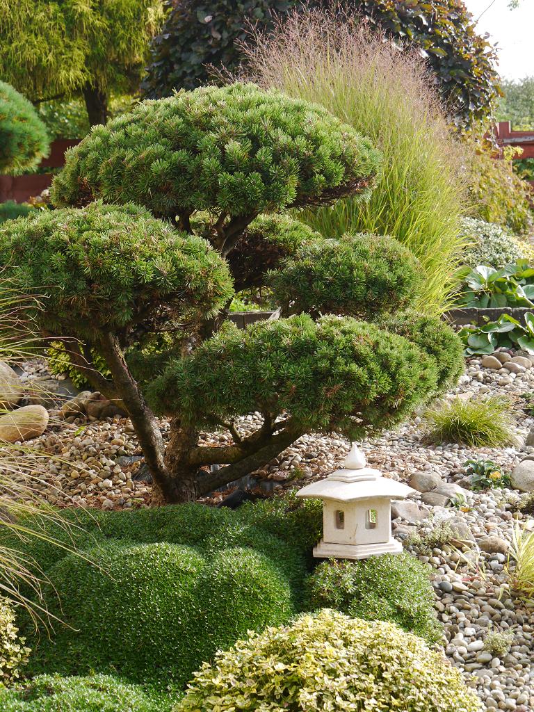 Pinus Mugo 'Mini-Mops', Künstlergarten Gertrud Lothwesen, Vorgarten