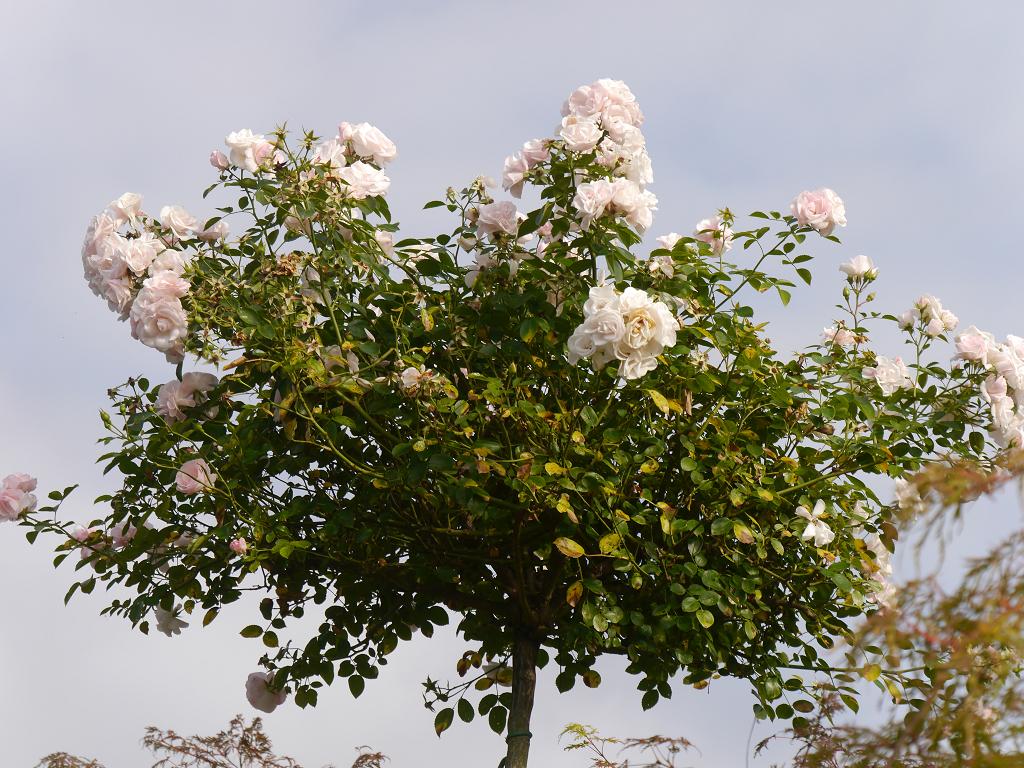 Rosa 'Aspirin', Terrasse Künstlergarten Gertrud Lothwesen