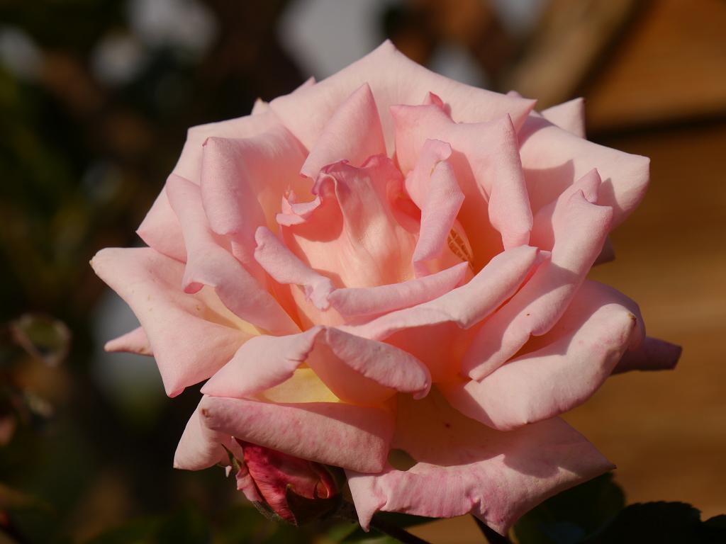 Rosa 'Compassion', Künstlergarten Gertrud Lothwesen