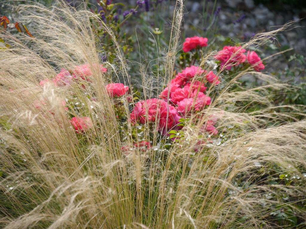 Rose 'Heidetraum', Nassella 'Ponytail', Künstlergarten Gertrud Lothwesen