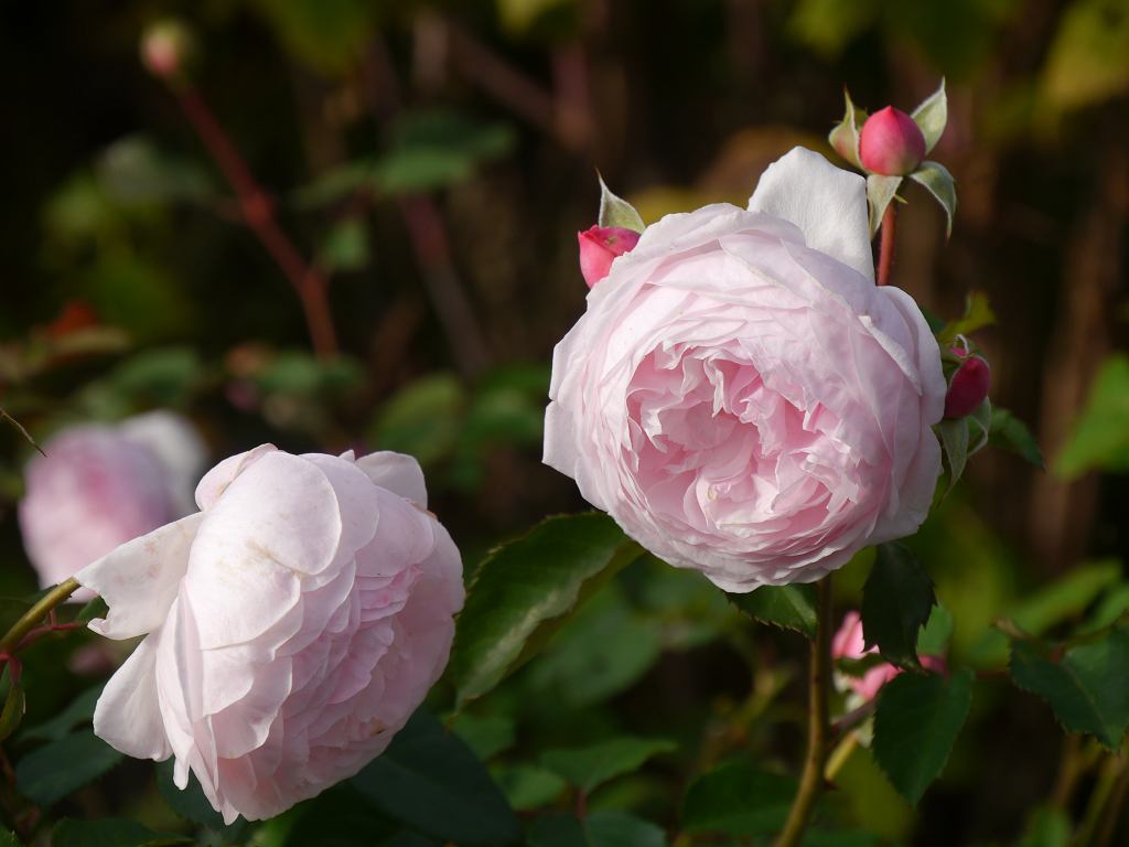 Rosa 'The Wedgewood-Rose', Künstlergarten Gertrud Lothwesen