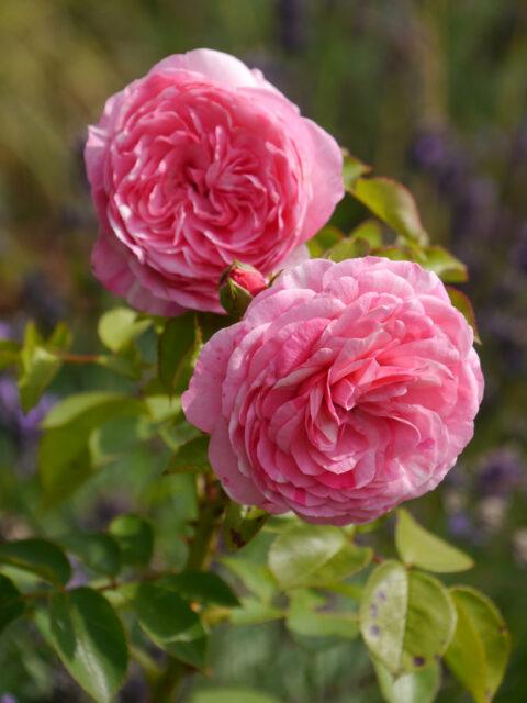 Rosa 'Baroness' Künstlergarten Gertrud Lothwesen