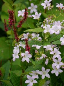Campanula lactiflora 'Loddon Anne', Persicaria, Sammlergarten Martina Henne