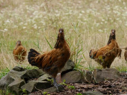 Vorwerk-Hühner, Hostasammlung, Garten Henne