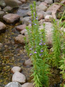 Lobelie im Wasser, Sammlergarten Martina Henne