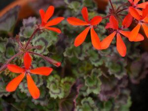 Pelargonium 'Friesdorf', Sammlergarten Martina Henne