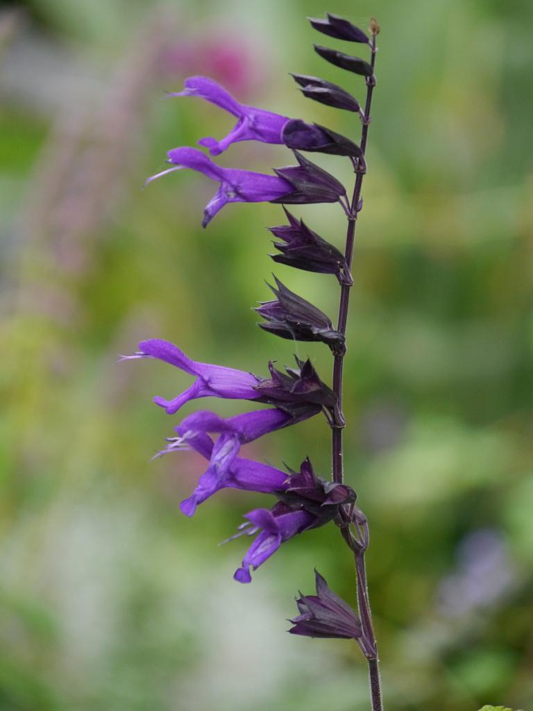 Salvia 'Amistad', Landidyll Tjarks, Friedeburg