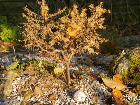 Larix decidua, europäische Lärche,Hexenbesen in Wurzerls Garten