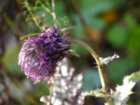 Cirsium purpuratum in Wurzerls Garten