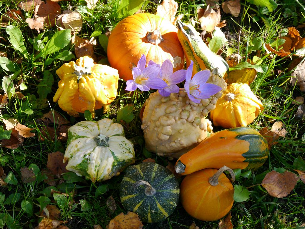 Herbstkrokusse und Zierkürbisse in Wurzerls Garten