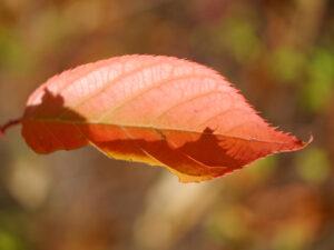 Blatt einer Zierkirsche, Wurzerls Garten