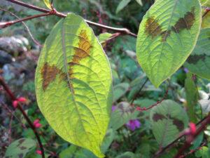 Persicaria virginiana var. filiformis in Wurzerls Garten