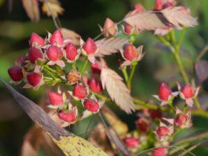 Rosa 'Fairy Bouquet', Wurzerls Garten