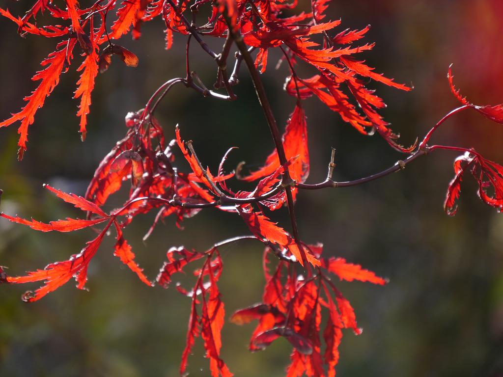 Acer palmatum Dissectum 'Atropurpureum' Wurzerls Garten