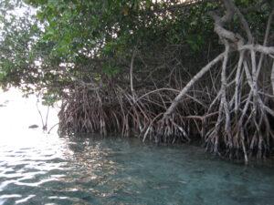Mangroven, Boca Chica, Dominikanische Republik