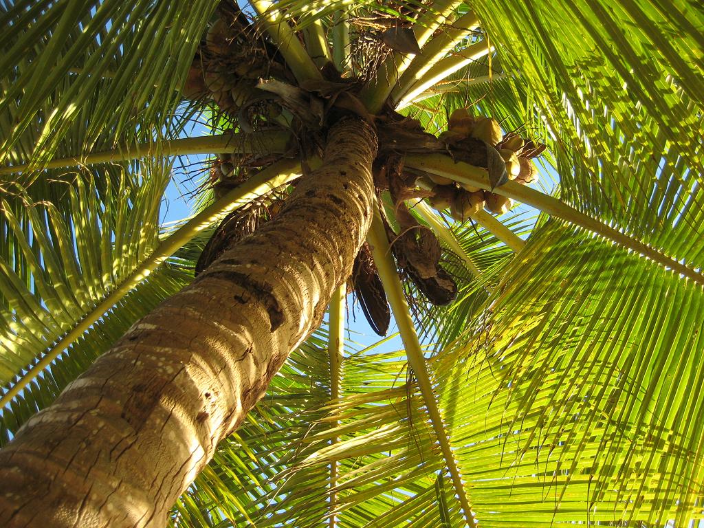 Cocospalme, Privatstrand in der Dominikanischen Republik