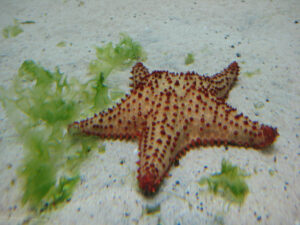 Seestern im Nationalen Aquarium, Santo Domingo