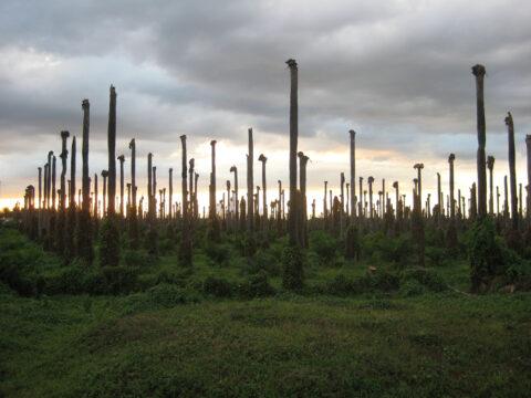 Palmen-Plantage nach Zyklon, Dominikanische Republik