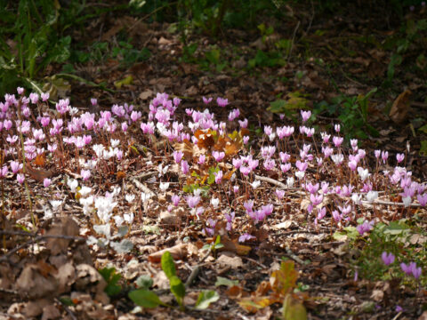 Cyclamen hederifolium, Wakehurst, West-Sussex