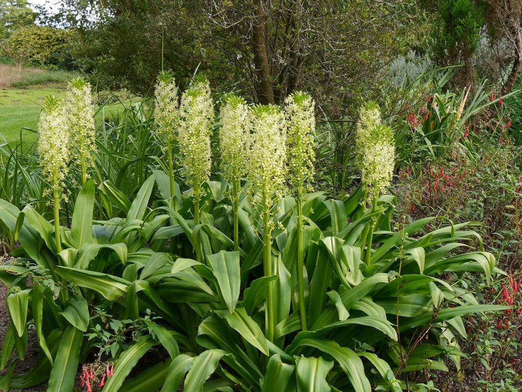 Eucomis pole-evansii 'Southern Hemisphere Garden', Wakehurst, West Sussex