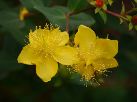 Hypericum kouytchense, Wakehurst West-Sussex
