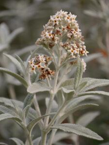 Buddleja x weyeriana 'Sungold', 'Southern Hemisphere Garden', Wakehurst, West Sussex