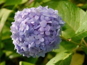 Hydrangea 'Endless Summer', Spetzer-Tuun, Waldgarten Peters