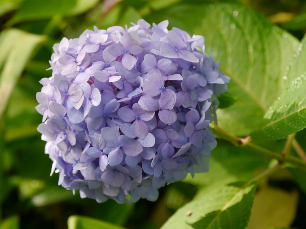 Hydrangea 'Endless Summer', Spetzer-Tuun, Waldgarten Peters