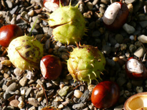 Rosskastanien, Spetzer-Tuun, Waldgarten Peters