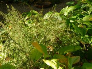 "Dryopteris filix-mas 'Linearis Polydactyla', ""Spetzer-Tuun"", Waldgarten Amanda Peters"